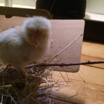 chicks_3