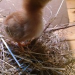 chicks_6