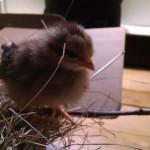 chicks_7